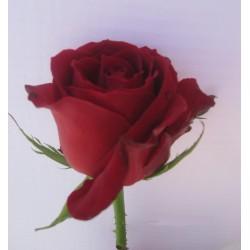 rosas los ritas