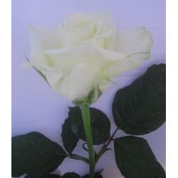 Rosa White Naomi, Cat. Segunda