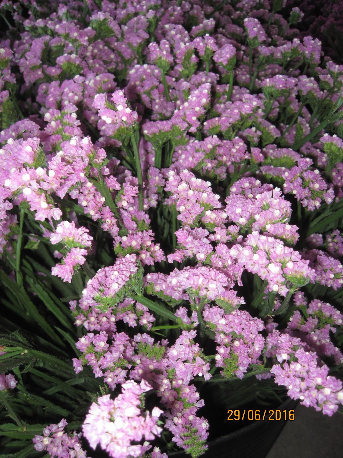 Pink Statice Los Ritas
