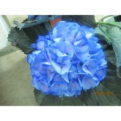 Hydragea Azul