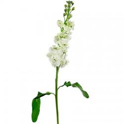 White Aleli