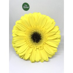 Gerbera Brillance
