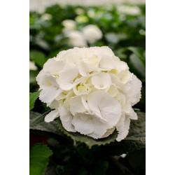 Hydragea Blanca