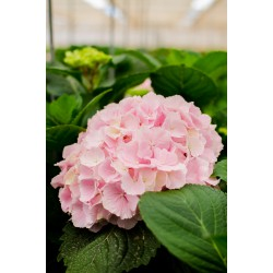 Hydragea Rosa