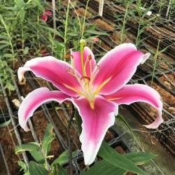Pink Oriental, 3-4 Flowers