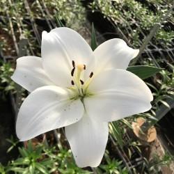 L.A. Blanco, 3-4 Flores