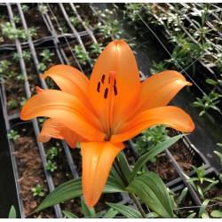 Orange L.A., 3-4 Flowers