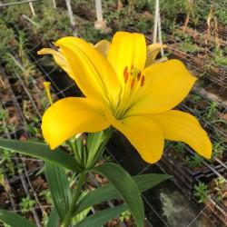 L.A. Amarillo, 3-4 Flores