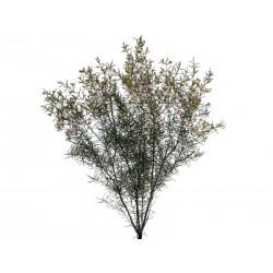 Восковый цветок