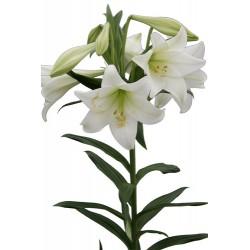 Longiflorum, 2 Flores