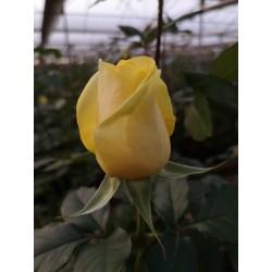 Roses Sefer, 50 cm