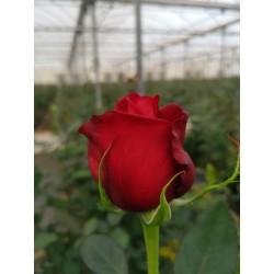Roses Samurai, 70-80 cm