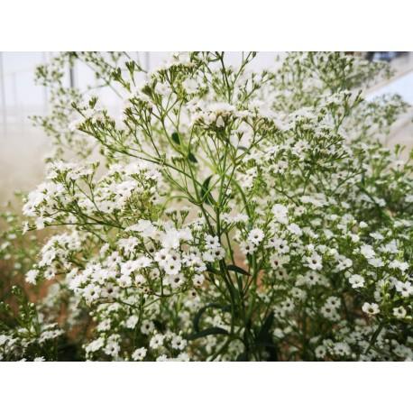 Gypsophila (Paniculata)