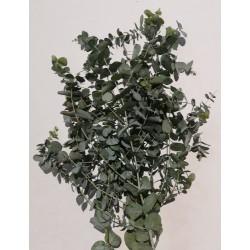 Eucalyptus Cineera
