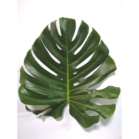 Monstera Mediana