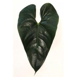 Anthurium leaf